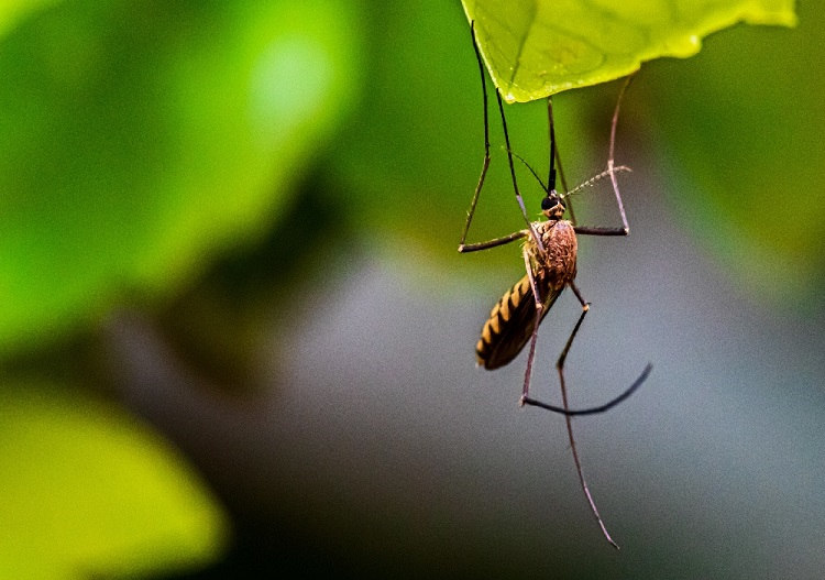 Connecticut Mosquitoes Carrying A Dangerous Virus
